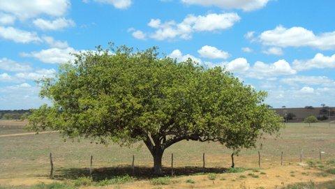Umbuzeiro no meio do pasto seco. Foto: Liliana Peixinho.