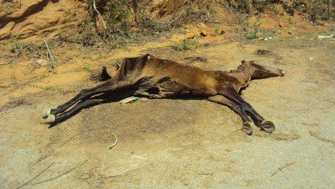 Cenário da seca é marcada por animais mortos e muito abandono / Foto: Liliana Peixinho.