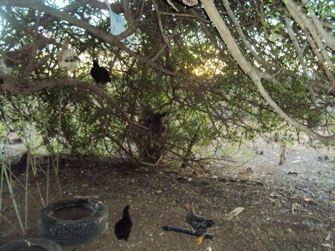 Umbuzeiros servem como dormitórios para as aves. Foto: Liliana Peixinho.