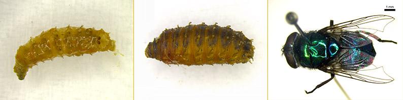 Mosca da Familia Calliphoridae, Espécie Chrysomya albceps. Imagem: Divulgação/Equipe BIOSIS.