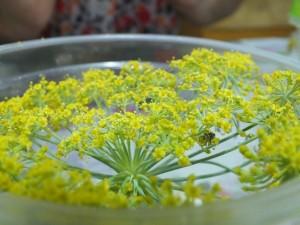 Joaninhas se alimentando do pólen de erva doce/ Foto: Acervo da pesquisa