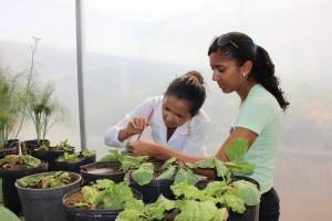 A mestranda Girlandia Miranda e a estudante Nayara Ranyelle colhendo pulgões  para alimentar as joaninhas/ Foto: Sheila Feitosa